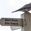Stack Rocks Kestrel