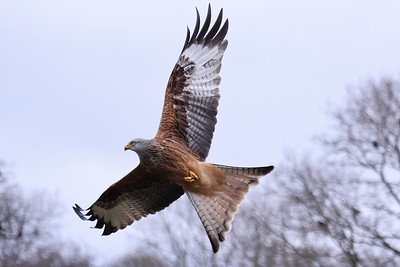 Soaring Red Kite