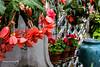 Begonia & geraniums