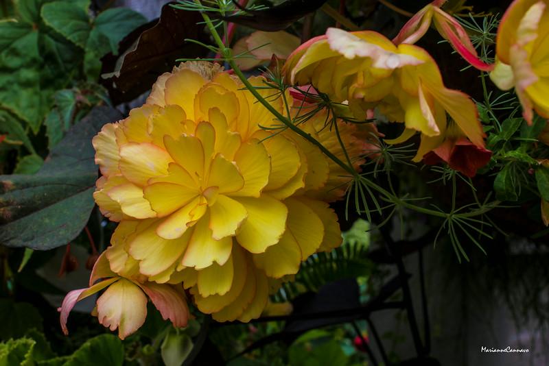 Golden Begonia
