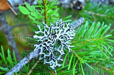 Moss Snowflake