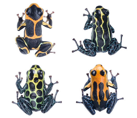 Mimetic morphs of the mimic poison frog