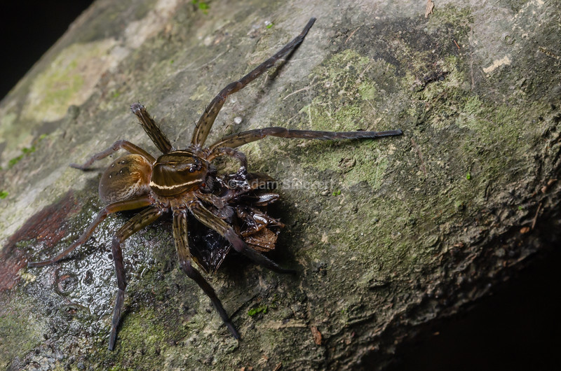 Fishing spider with a narrowmouth toad meal