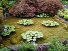 NV10 MP <br /> Water Lilly pond