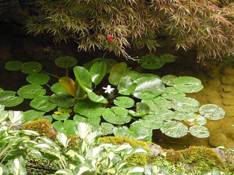 NV10 MP Samsung<br /> Water Lilly pond