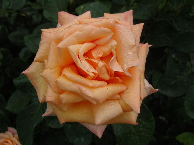 NV10 MP Samsung<br /> Rose