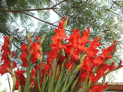 Gladiolas splendors