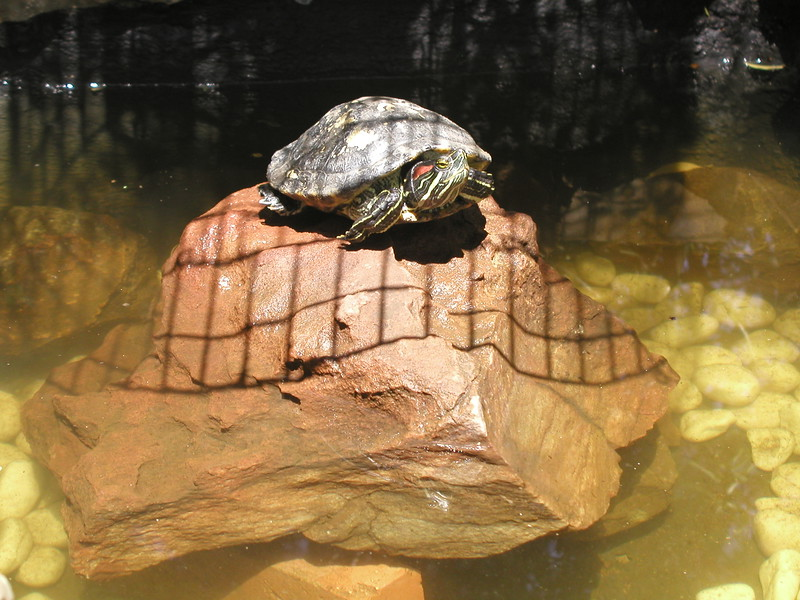 """Tilly"" the red liipped Aquatic Turtle in her personal SPA with waterfall and and underground cave for comfortable hibernation and her personal suntanning island. Tilly favorite , fish , chicken , steak in limited amounts !"
