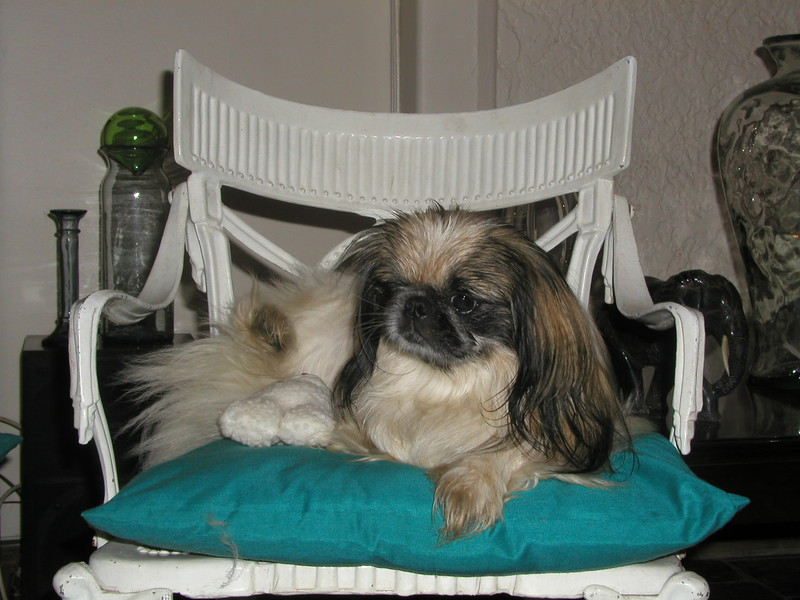 """eWOK"" The one eyed rescue Pekingese who came with Gyzmo making a very luxurious living now with family of my brother Patric in Albertron."