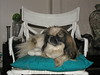 """""""eWOK"""" The one eyed rescue Pekingese who came with Gyzmo making a very luxurious living now with family of my brother Patric in Albertron."""