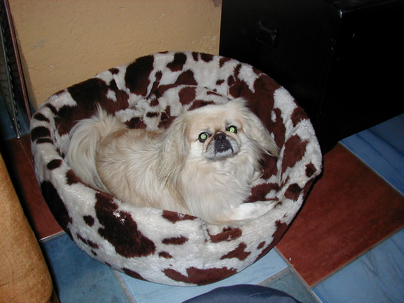 """Gyzmo"" our Chinese Golden Pekinese . I real darling adopted as a pair via good friends immigrating to NZ who lost a friend passed on who had five Pekineese. He was traumatised spending 5days with his dead master .His 1/2 blind brother ""eWOK""  brought the other eye to my sister in laws 1/2 blind Maletese poodle . At first she thought it was a bad joke. She found out that even Dogs can use a working dogs help and become best buddies."