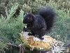"""Twiggy"" our resident Squirrel . Last autumn all these home grown organic sunflowers were a real treat and sure will remain in her mind as she starts searching to fill her stash for this winter. She sits with no scare 1m from our window and plays her star role in our private channel ""Cat TV"" for our cats watching her hours on hours non stop."