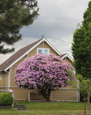 That pretty Rhododendron tree