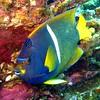 King Angelfish, Holacanthus passer, Galapagos (173)
