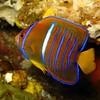 King Angelfish juvenile, Holacanthus passer, Galapagos (165)