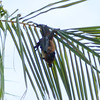 Fruit bat, Pteropus species 8596