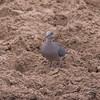 feral pigeon 8358