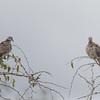 feral pigeons 8377