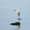 Little Egret from South Africa, Egretta garzetta 4529