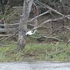 Little Egret, Egretta garzetta 8025
