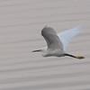 Little Egret from South Africa, Egretta garzetta 4548
