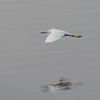 Little Egret from South Africa, Egretta garzetta 4546