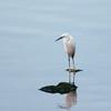 Little Egret from South Africa, Egretta garzetta 4530