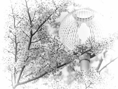 sakura flower photos