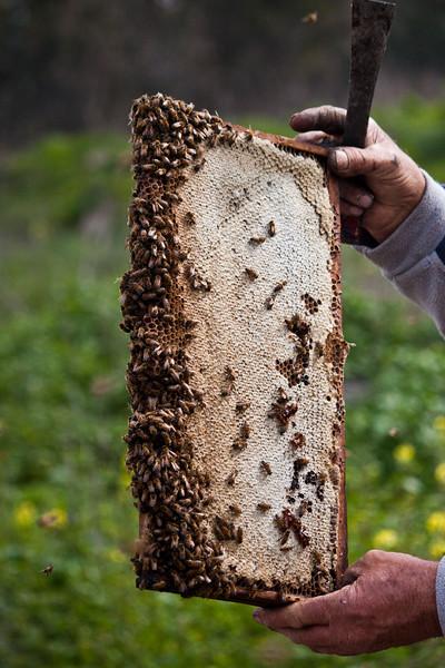 Bee keeper hands holding a frame