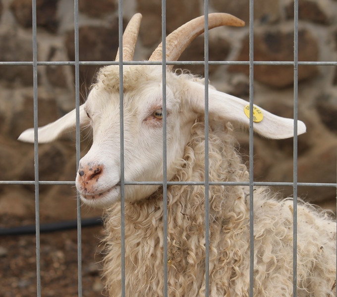 Sheep trying to chew his way out - Pinat Chai Katzrin