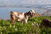 Goat on mountain in Teverya overlooking the Kinerret