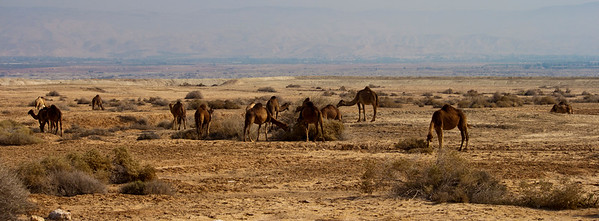 Camels in the Judean Desert - 3