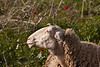 Contemplative sheep