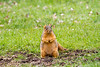 Squirrel standing up in the grass - 2