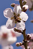 Bee and almond tree blossom - 2 - Galil