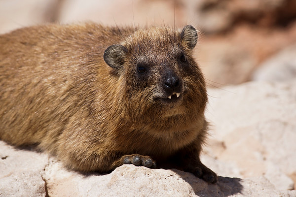 Hiram the Hyraxe smiling for the camera