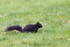 Black squirrel in the grass