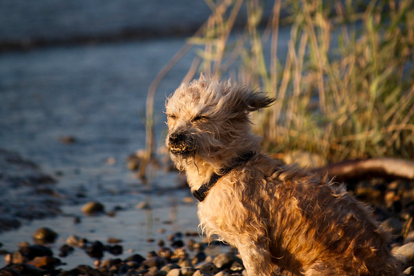 Dog in the wind on the beach - 2