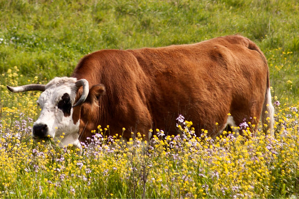 Cow in the flowers