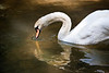 Swan and heart reflection with beak in water