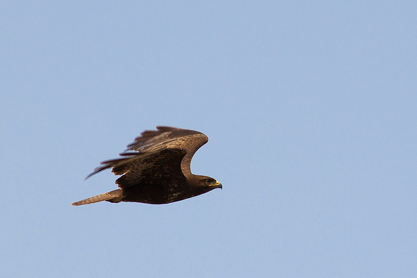 Common Buzzard flying - side view - Golan - 2