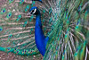 Peacock - side-on with good DOF