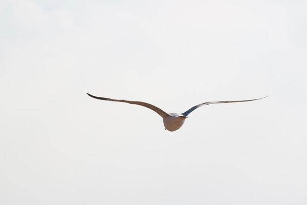 Seagull in flight - from rear