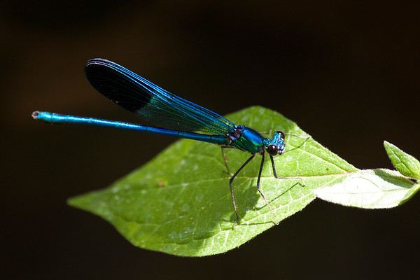 Blue dragon fly - 2