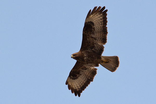 Common Buzzard soaring - Golan