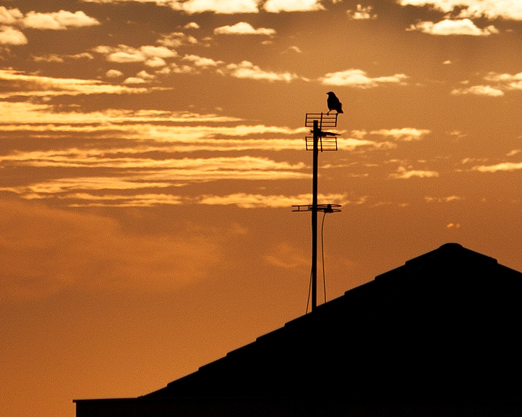 Bird on Antenna - sunset