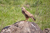 Common Buzzard perched on a rock - Golan - 2