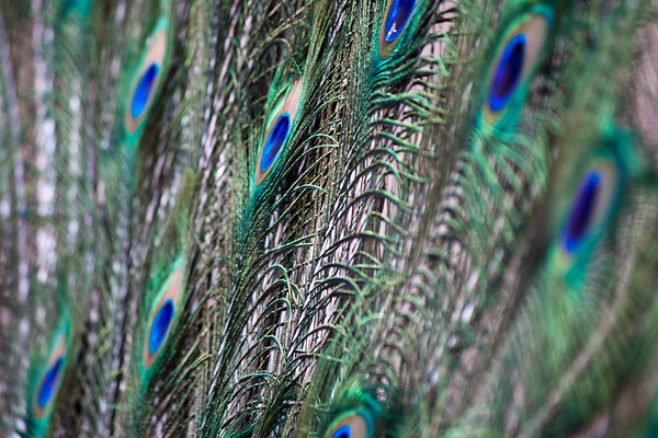 Peacock tail feathers- angled