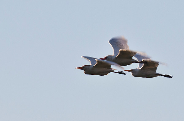 3 gulls flying
