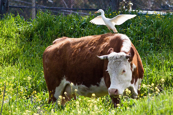 Egret taking off from a cows back